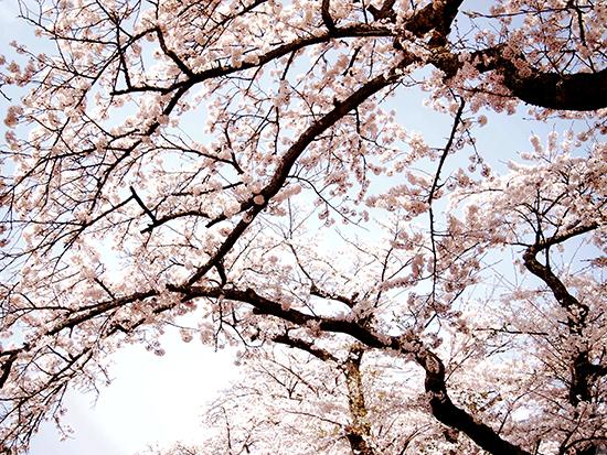 早川の桜-箱根の風景_春(C)箱根・孫三総本家・花詩Magosan Hanakotoba Hakone Japan